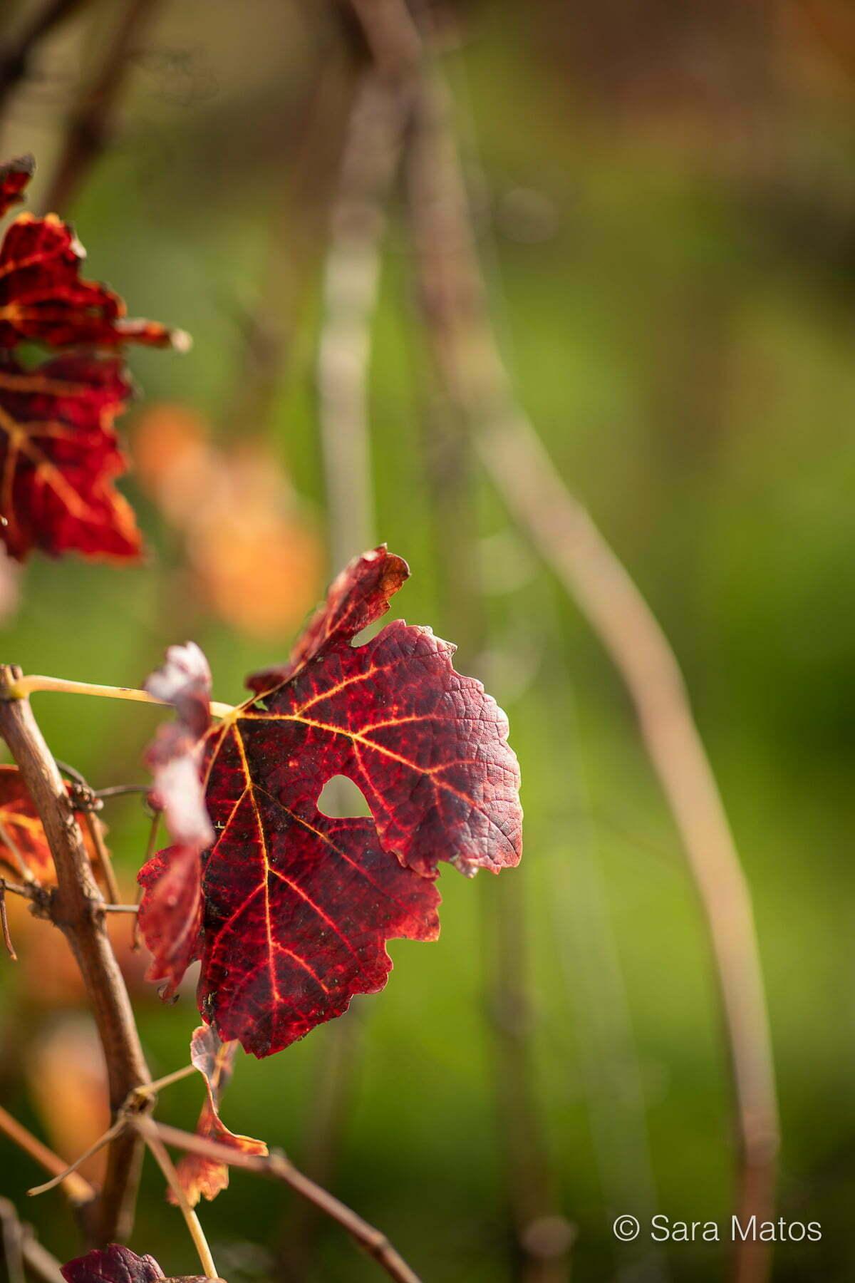 A vinha na Quinta dos Abibes