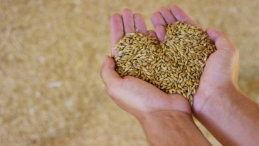 Close up of hands of a young farmer makes the heart of cereals, barley, spelled , to control the quality. feed and bio concept . connection